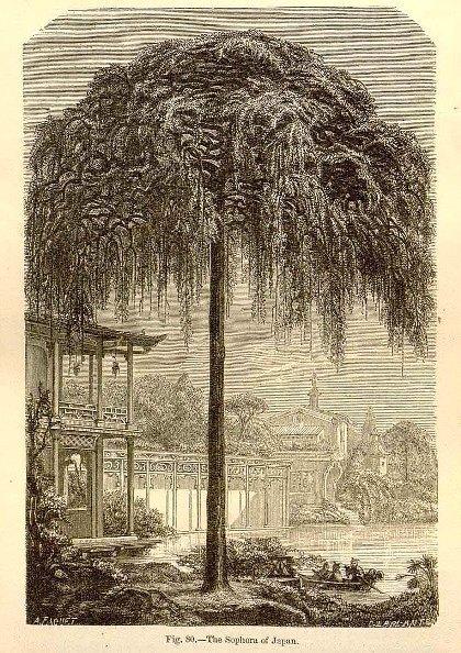 Sophora japonica L..jpg